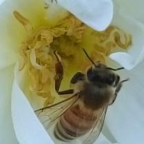 mehiläinen ruusussa